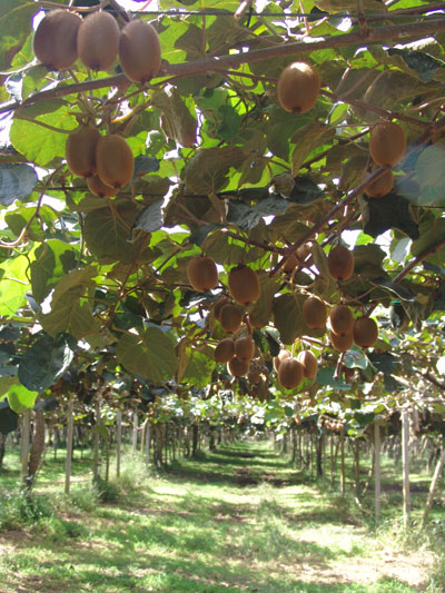 Presentazione kiwi informa for Kiwi coltivazione